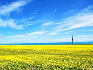 好看的青海湖油菜花图片壁纸