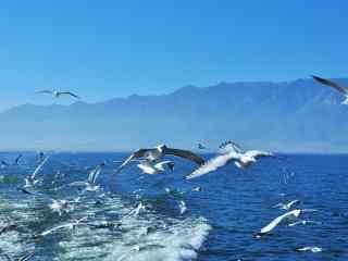 大理洱海海鸥展翅图片高清桌面壁纸