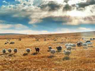 蓝天白云下的牛羊