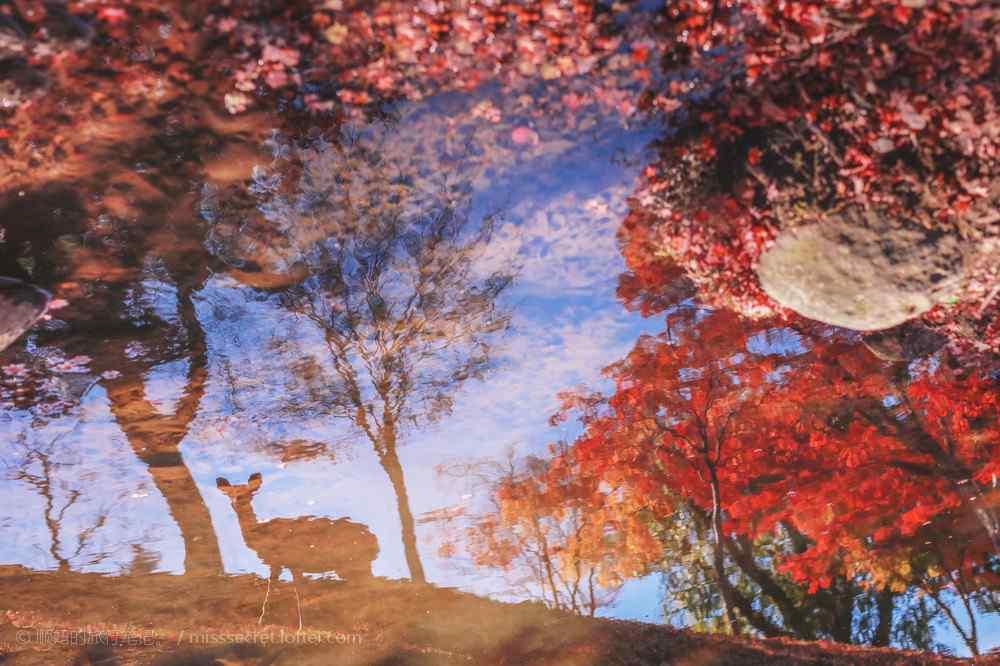 梅花鹿在一片红色树林里喝水图片桌面壁纸