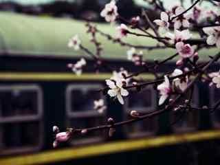 铁轨边的梅花盛开美丽风景图片