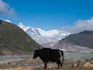 羊卓雍错牦牛雪山风景图片桌面壁纸