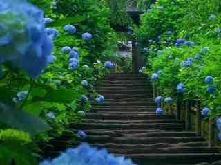 绣球花园里的林间小道唯美图片
