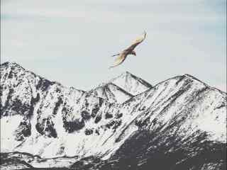 老鹰翱翔在唯美雪山上空图片