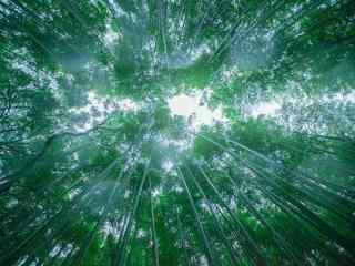 仰望竹林风景桌面壁纸