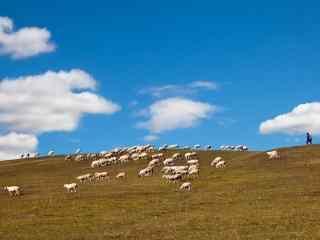 蓝天下的草原牧羊风景壁纸