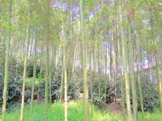 绿色护眼竹林风景桌面壁纸