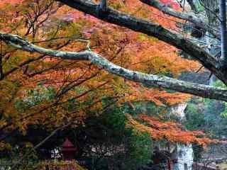 莫干山秋日里的枫叶林桌面壁纸