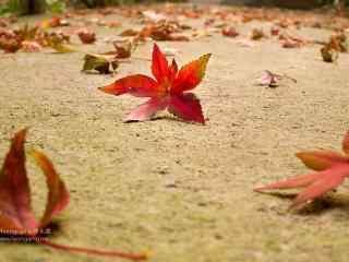 莫干山上的枫叶飘落在地桌面壁纸