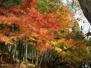 秋日莫干山红色枫叶林桌面壁纸