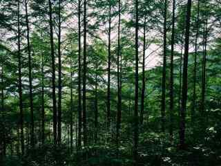 绿色护眼莫干山竹林桌面壁纸