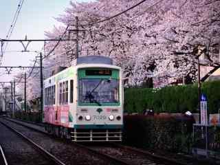 樱花林中飞驰而过的电车桌面壁纸