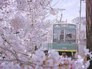 唯美樱花林中的复古电车桌面壁纸
