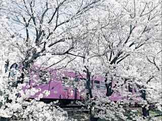 唯美粉色电车穿过樱花林桌面壁纸