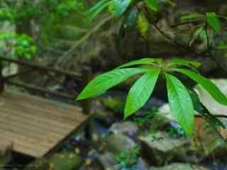 翠绿的莫干山竹林