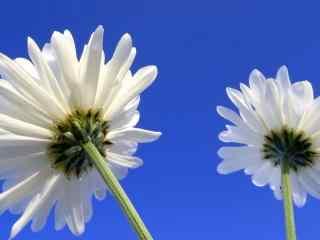 蓝色小清新花朵蓝
