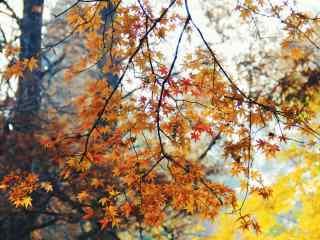庐山唯美枫叶林桌面壁纸