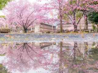 奈良公园绝美樱花