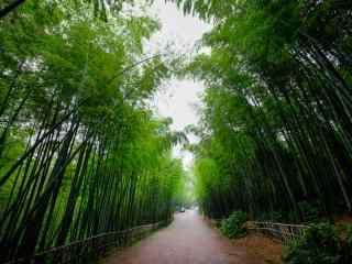 清新绿色蜀南竹海竹子护眼桌面壁纸