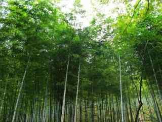 郁郁葱葱的宜兴竹海竹林桌面壁纸