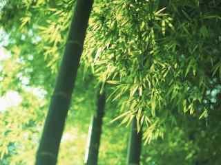 清新绿色护眼南山竹海竹叶桌面壁纸