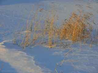 黑龙江大雪上的杂草桌面壁纸
