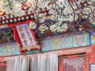 故宫承乾宫门口的杏花树桌面壁纸