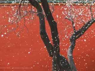 故宫红墙处的杏花树桌面壁纸