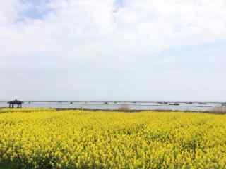 安徽巢湖油菜花田风景壁纸