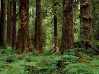 美丽的原始森林护眼风景桌面壁纸