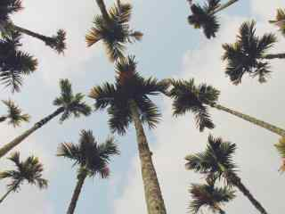 美丽的椰林风景桌面壁纸
