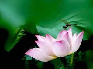 美丽的荷塘中莲花桌面壁纸