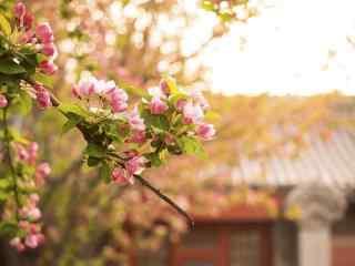 美丽的北京故宫海棠花壁纸