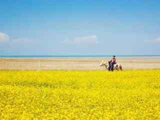 青海湖之美丽的油菜花风景壁纸