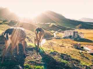 夕陽下滿(man)山牛(niu)羊的(de)山坡風景(jing)