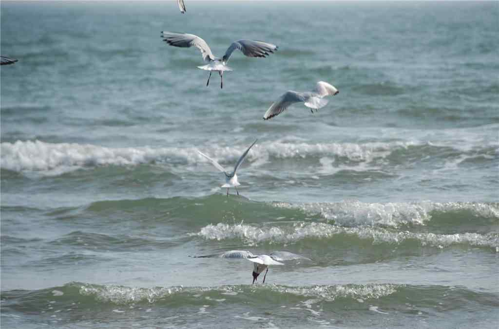 北戴河海上海鸥图片壁纸