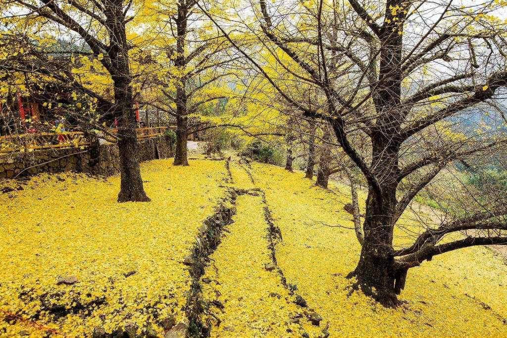 秋日银杏唯美风景壁纸