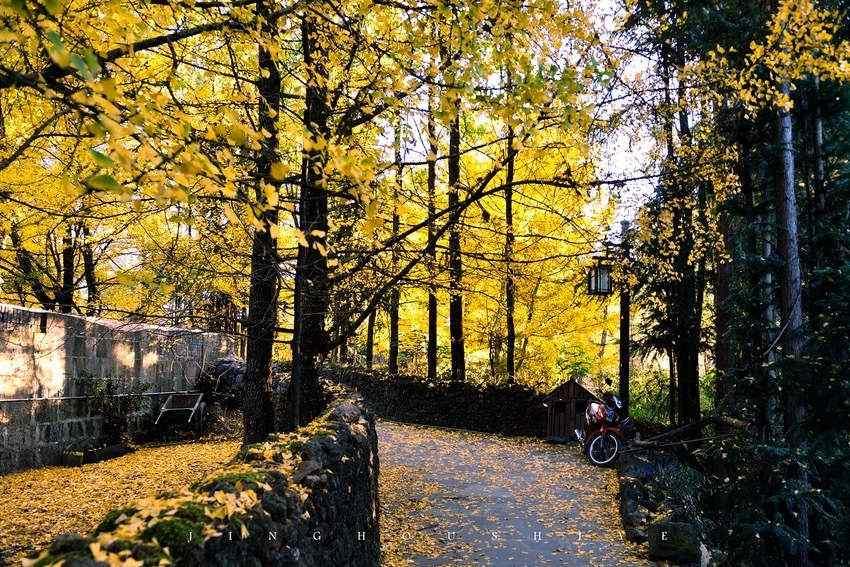 秋天银杏林风景桌面壁纸