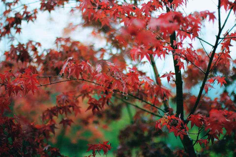 美丽的秋日红色枫叶风景壁纸