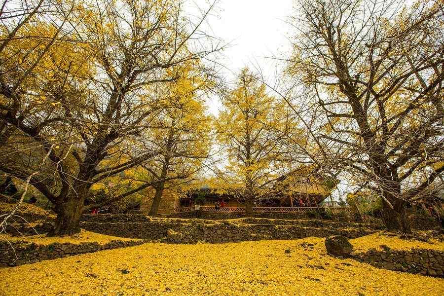 唯美的秋日银杏树风景壁纸