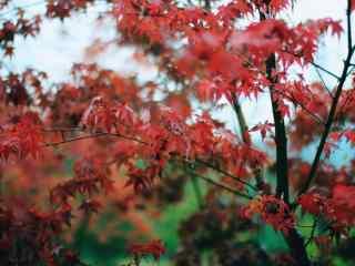 美麗(li)的秋(qiu)日紅色楓(feng)葉風景壁紙(zhi)