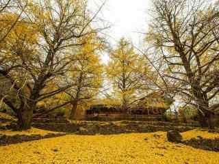 唯美的秋日銀杏樹風景壁(bi)紙