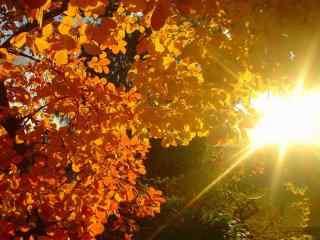 美丽的枫叶之秋分