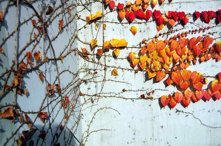 秋日爬山虎风景桌面壁纸