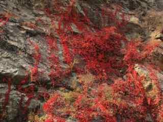 秋日爬山虎风景壁纸