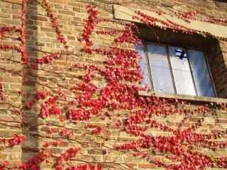 红色美丽的爬山虎桌面壁纸