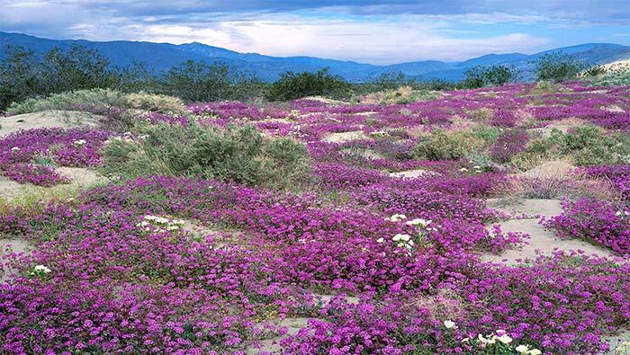 紫色花海高清自然风景壁纸