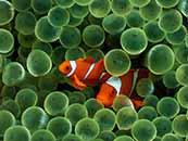 超清小丑魚綠色護眼桌面壁紙下載