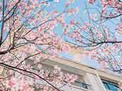 唯美櫻花高清壁紙_櫻花有意境圖片
