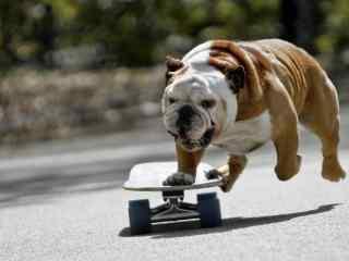 滑板可爱狗狗高清